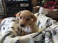 Rose's story Rose is a 7 week old lab greyhound