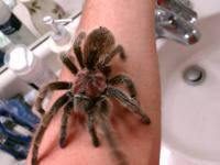Hi every one I Have Rozy a beautiful Rose Spider