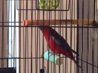 Hi, i have a female Rosellas Crimson for sale or trade