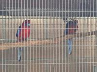 I have a pair of eastern rosellas for sale I'm offering