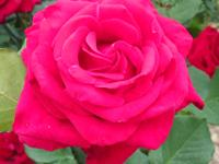 WHOLESALE GROWERS NURSERY  ((((((( HUGE ROSES SALE
