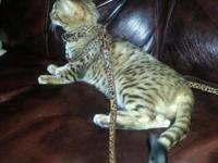 I have a 8 month aged female Rosetta Bengal. She's a