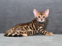 Beautiful golden brown rosetted male bengal kitty for