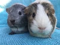 Kammy is a silver agouti & white female who was born