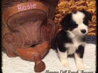Ranch Raised ASDR Toy / Mini Aussie Puppies Rosie ~