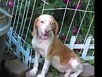 Rosie Chocolate Beagle's story Rosie just came from a