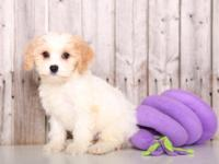 Rosie is a super-cute Cavachon. Although she is quiet
