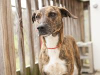 Rosie is an adult Mountain Cur mix.  Rosie is a sweet,