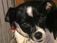 Rosie is a female, just under a year old, Rat Terrier