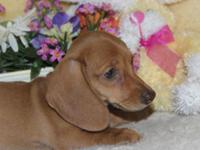 Rosie is a darling red creme short hair mini dachshund