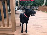My story Rosie is a 8-9 yr old possibly Lab/border