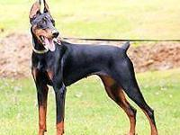 Due any day.. AKC Doberman bred to an AKC Rottweiler.