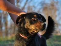 Rottweiler - 12-0411 Aristan - Large - Adult - Male -