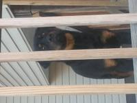 7 month old german rottweiler. Looking to trade for a