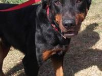 Rottweiler - A1540175 - Large - Adult - Male - Dog