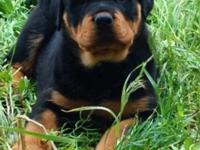 Female Rottie Pups 8 weeks, Ready to go. Family Raised