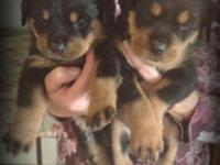 Rottweiler AKC Puppies 850.00 German, Big and