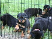 the puppies are very healthy, smart and playful and