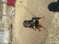 Hello I have a 10 month old rottweiler female she is in