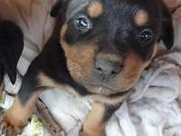 Rottweiler pups, Akc registered pedigree with