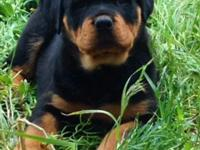 Rottweiler AKC Puppies 700.00 German, Big and