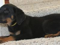 Adorable AKC Rottweiler puppies, Dew claws and tails,