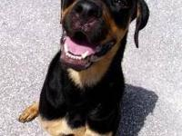 Rottweiler - Bentley - Large - Baby - Male - Dog