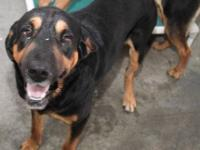 Rottweiler - Big Ace~goofy! - Large - Young - Male -