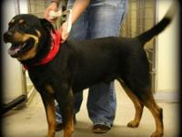 Rottweiler - Bo - Large - Adult - Male - Dog My nameis