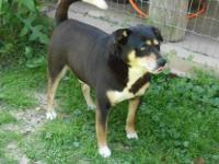 Rottweiler - Brady - Large - Adult - Male - Dog Brady