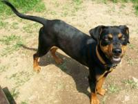 Rottweiler - Bubba-courtesy - Large - Young - Male -