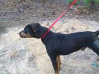 Rottweiler - Bubba J - Large - Young - Male - Dog This