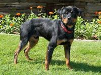 Rottweiler - Buckie - Medium - Adult - Male - Dog Talk