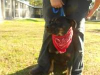 Rottweiler - Candy - Medium - Adult - Female - Dog