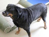 Rottweiler - Colette - Large - Adult - Female - Dog