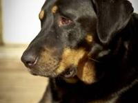 Rottweiler - Copper - Large - Young - Male - Dog Tall,