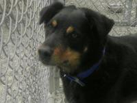 Rottweiler - Cosmo - Large - Senior - Male - Dog Cosmo