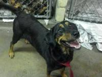 Rottweiler - Darius - Medium - Adult - Female - Dog Pet