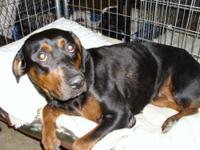 Rottweiler - Eilene - Large - Young - Female - Dog