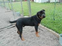 Rottweiler - Ellis - Extra Large - Adult - Male - Dog