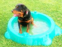 1 year old rottweiler female. not spayed. approximately