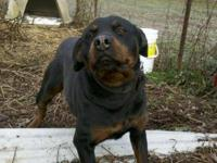 Rottweiler - Female Rott - Large - Young - Female -
