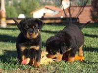 Rottweiler AKC 100% German puppies males and Females 8