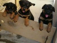 Female rottweiler German puppies pure breed tails dock