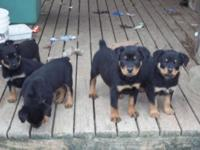 german Rottweiler puppy ready now. veterinarian