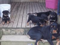 german Rottweiler pups, males and females 400.00 each,