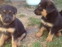 Rottweiler/German Shepard mixed puppies. 8 weeks old