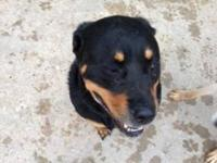 Rottweiler - Harley - Large - Adult - Female - Dog