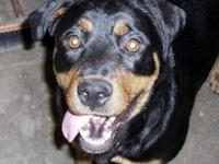 Rottweiler - Harlow - Large - Adult - Female - Dog
