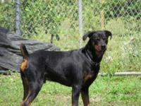 Rottweiler - Hooch - Large - Adult - Male - Dog
